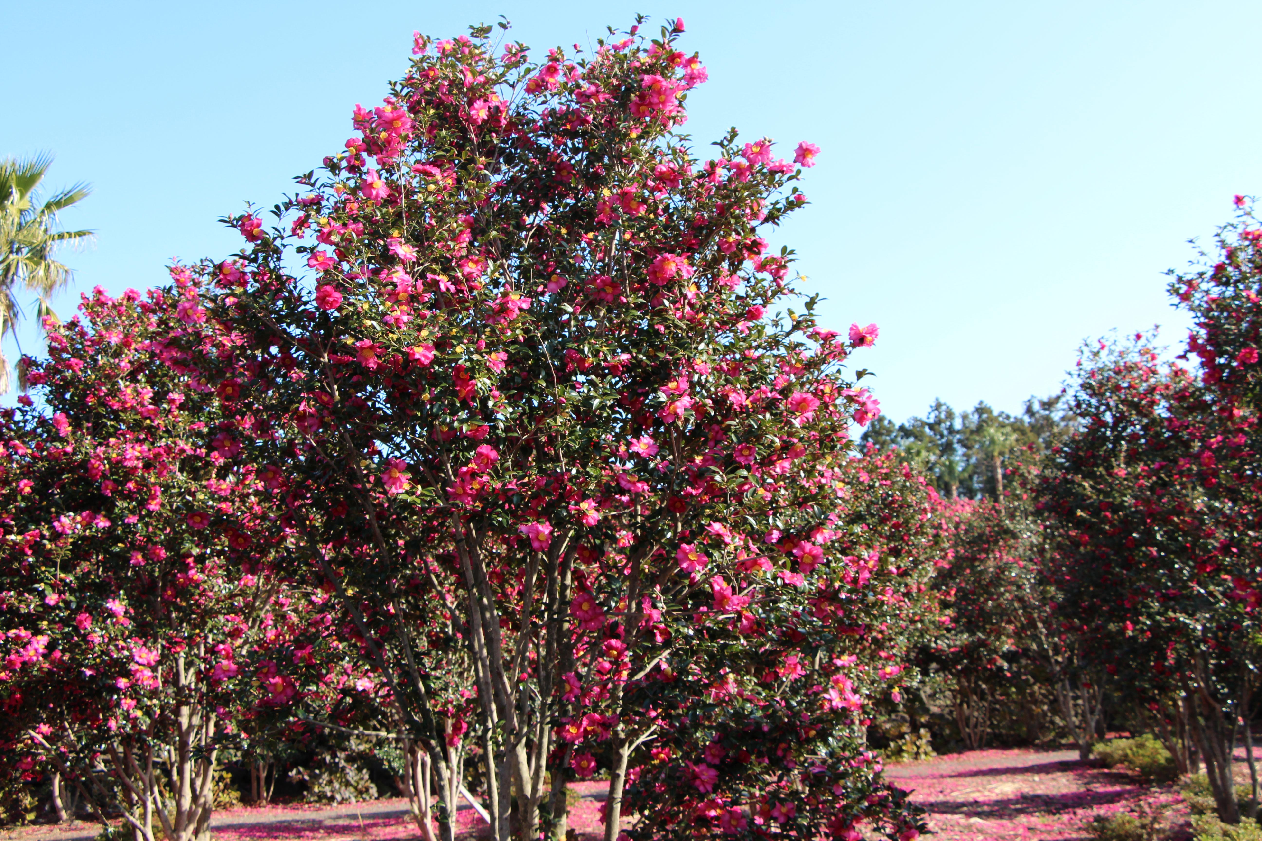 camellia 1